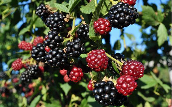 Düşündüğünüzden daha sağlıklı olan 7 yaz meyvesi